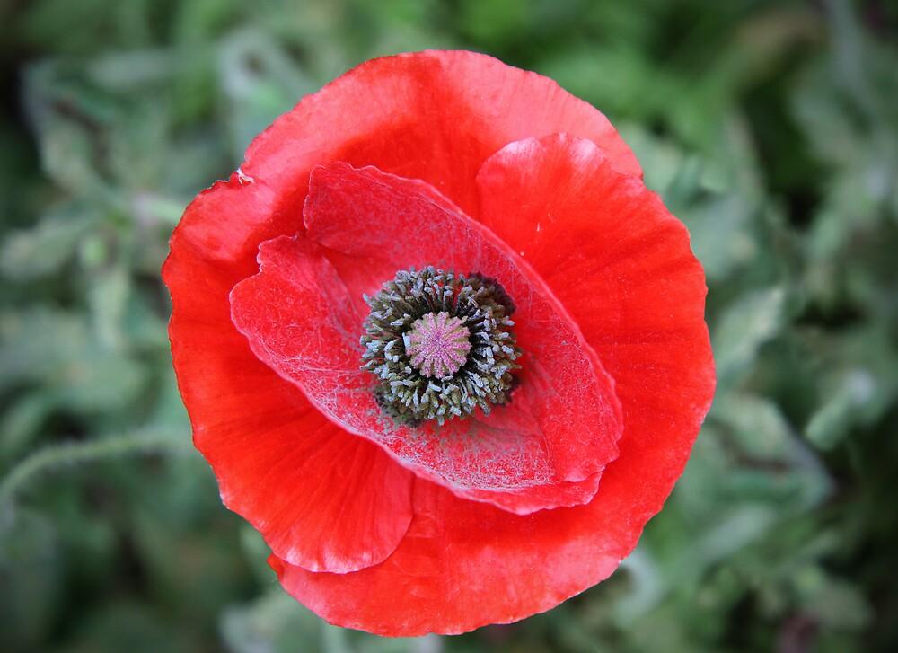 Red Powdery Poppy by Miko Coffey