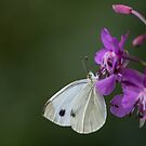 White butterfly by pietrofoto
