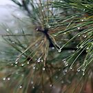 Dew on Pine Needles by Miko Coffey