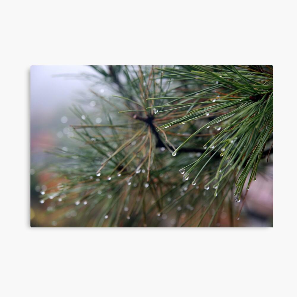 Dew on Pine Needles Canvas Print