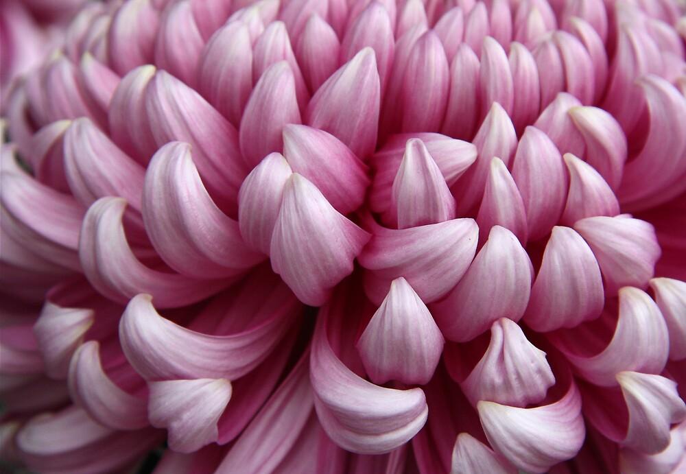Pink Chrysanthemum by Miko Coffey