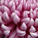 Pink Chrysanthemum by Miko Coffey