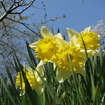 Daffodils a Reminder of Spring by ZipaC