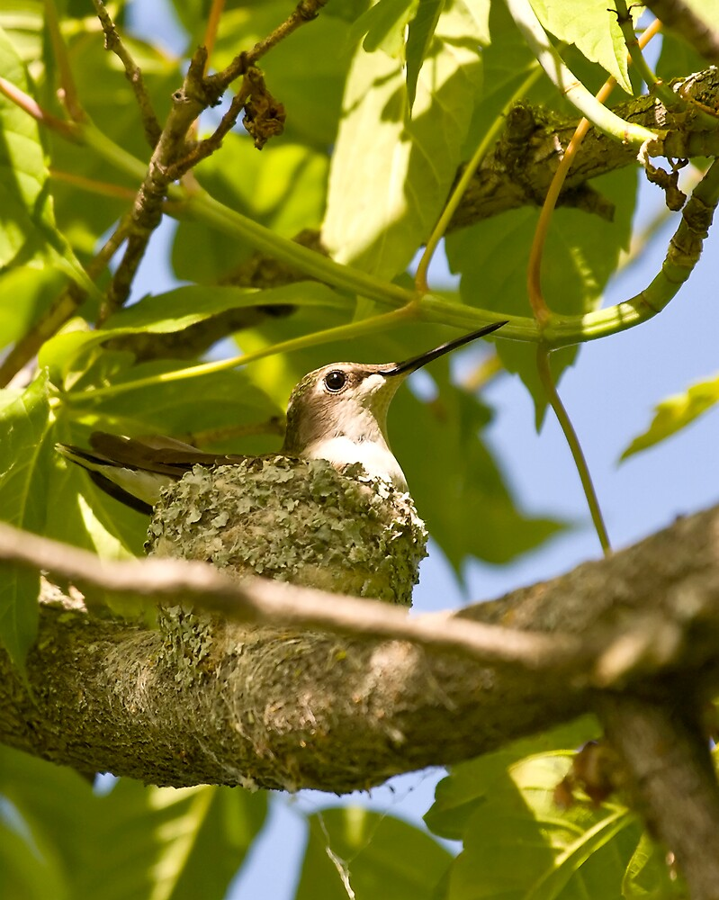 Ruby Throated Hummingbird in nest by StephenCoyle