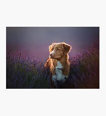 dog in lavender flowers Photographic Print