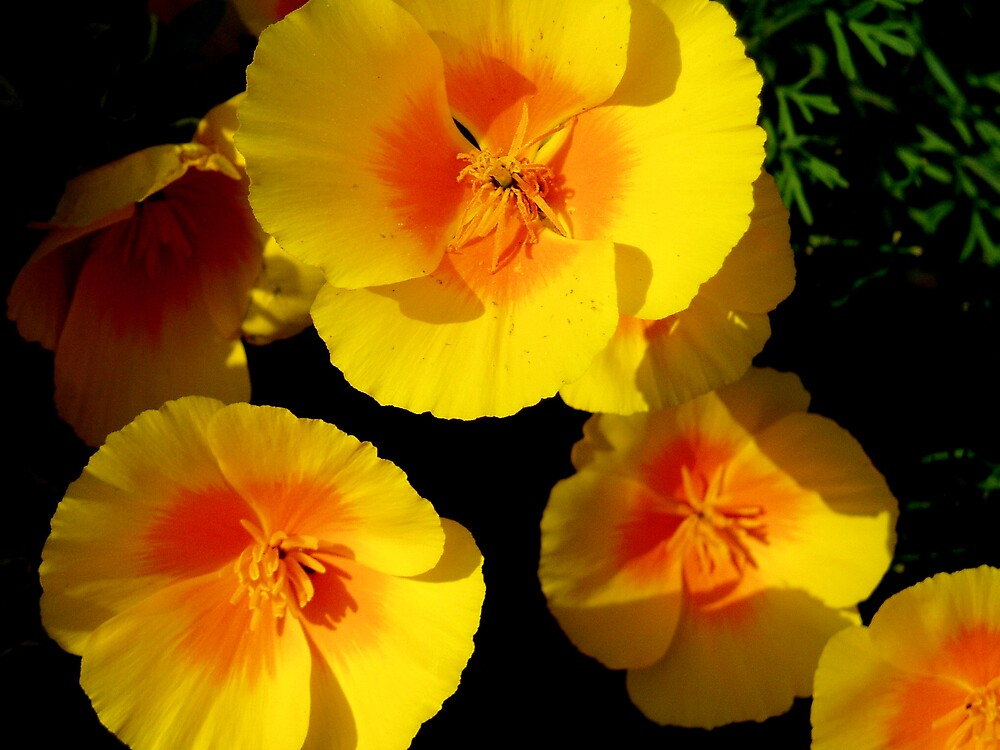 Californian Poppies by Gabrielle Battersby
