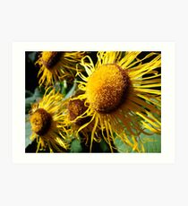 Sunflowers in Bloom - Shee Nature Photography Art Print