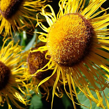 Sunflowers in Bloom - Shee Nature Photography by SheeArtworks