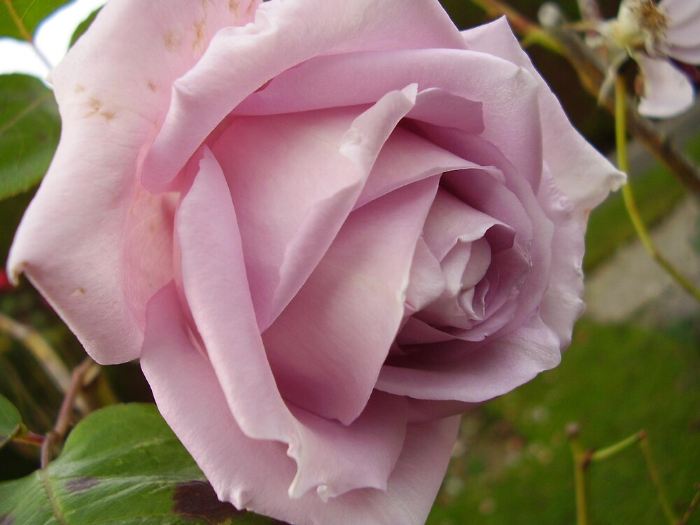 LILAC ROSE by tonymm6491