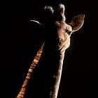 Giraffe in backlight by hanspeters