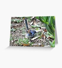 Immature male Variegated Fairy-wren Greeting Card