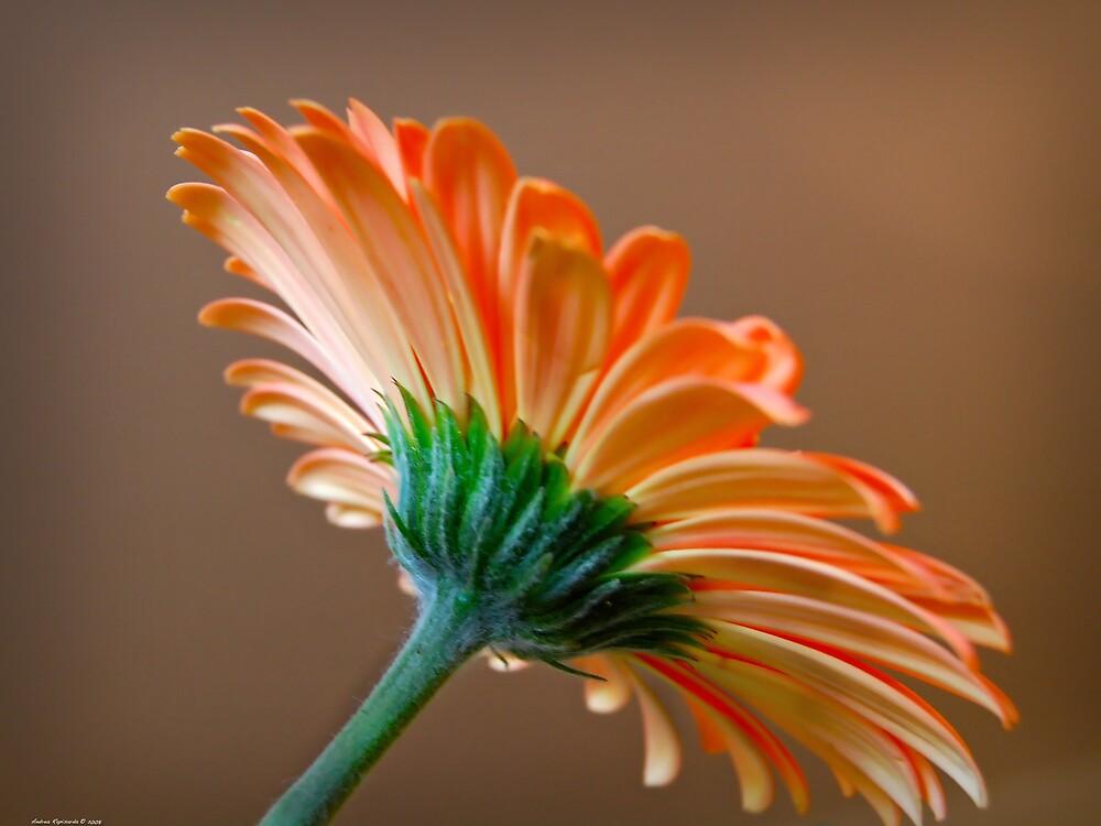 orange gerbera by Andrea Rapisarda