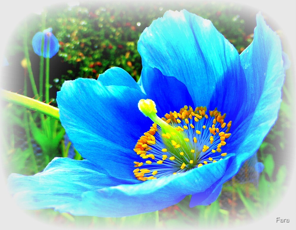 The Himalayan Blue Poppy by Fara