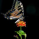 Butterfly Kissed By The Sun by TJ Baccari Photography