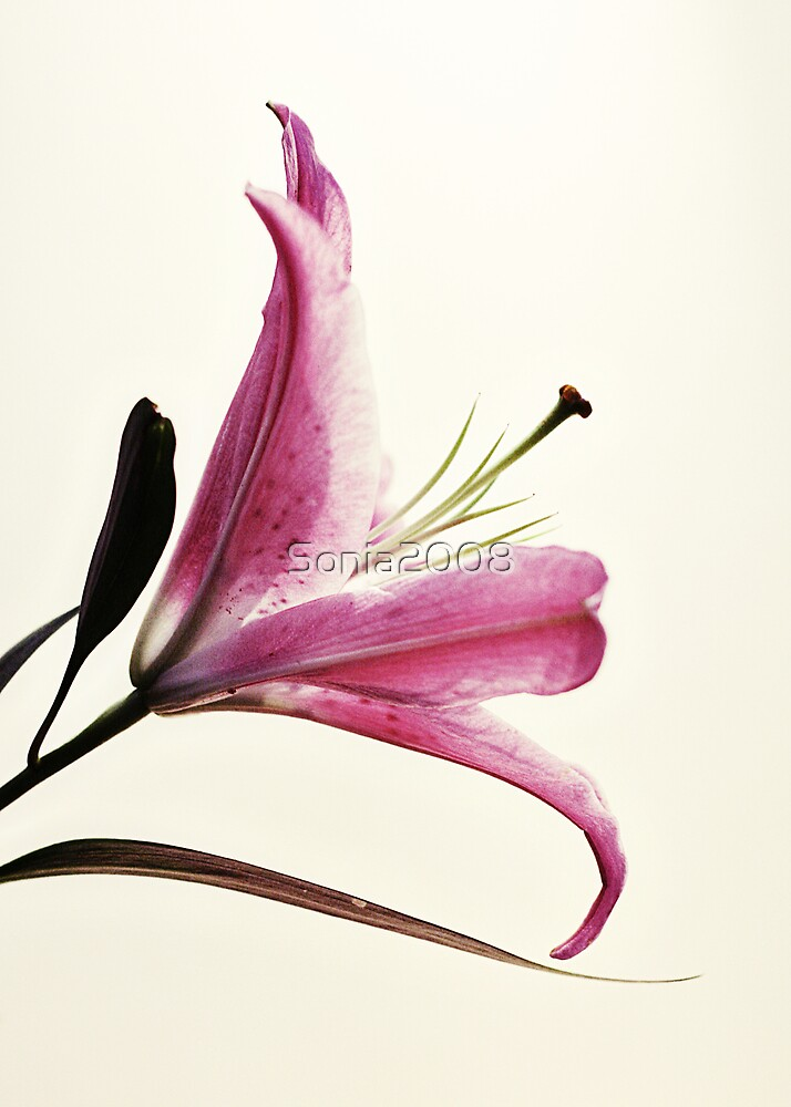 Lily... by Sonia2008