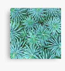 Euphorbia Jungle  Canvas Print