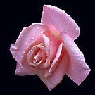 Regentropfen Juwelen auf einer rosa Rose von BlueMoonRose
