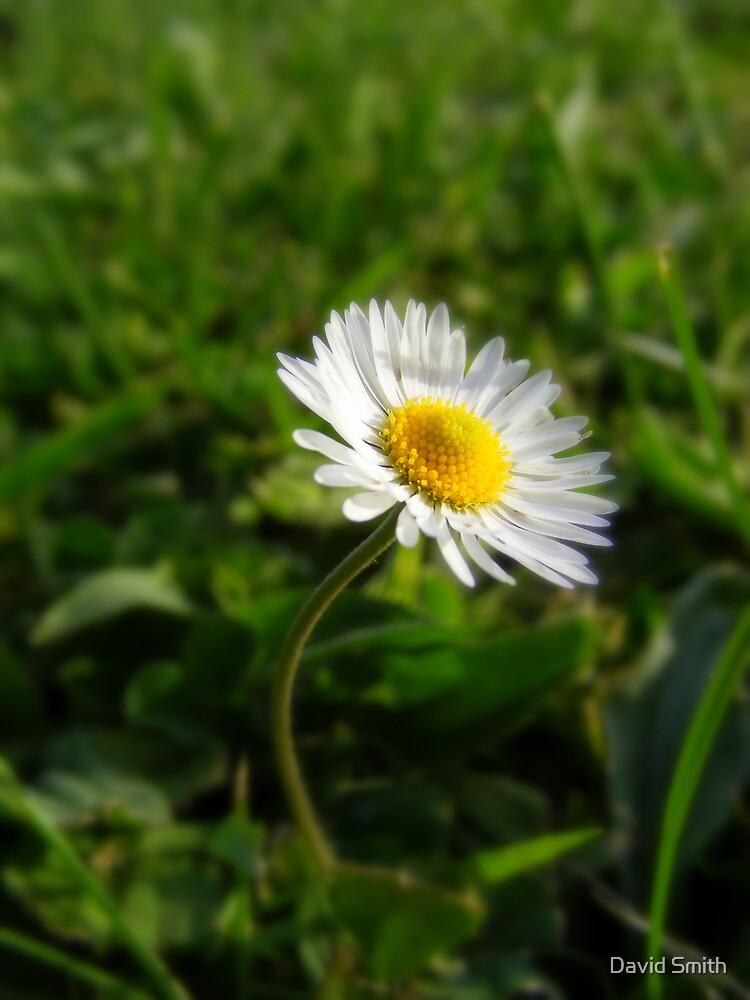 Oh Daisy Daisy a day. by David Smith