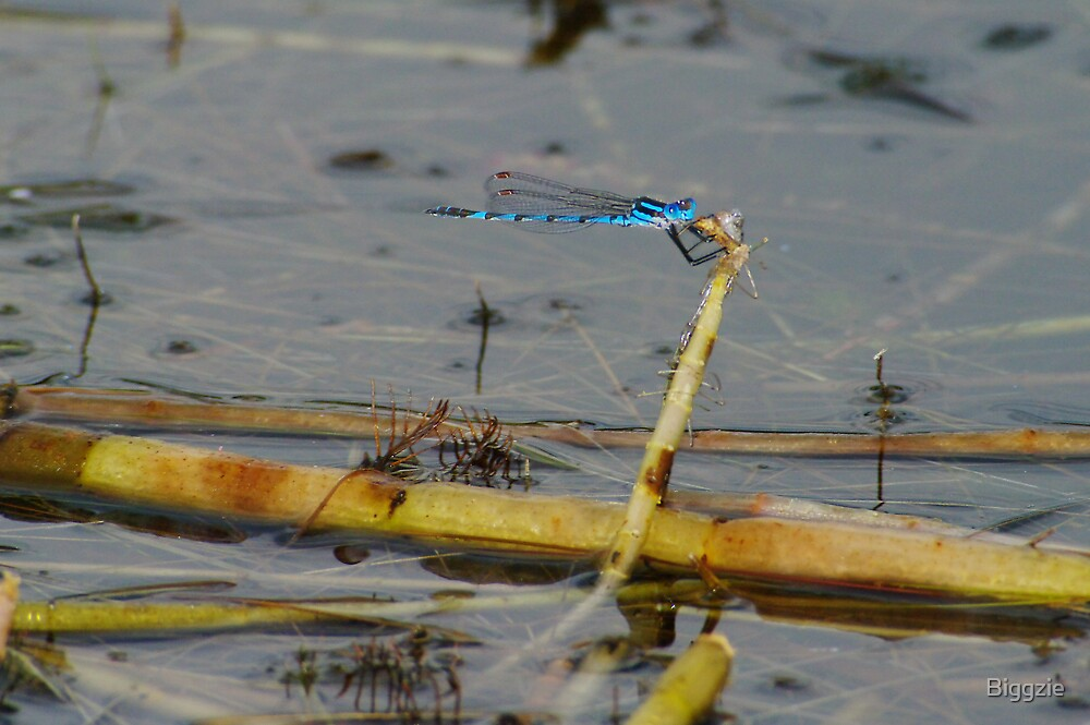 Damsel Flies 9 by Biggzie