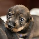 4 weeks old puppes by Nicole W.
