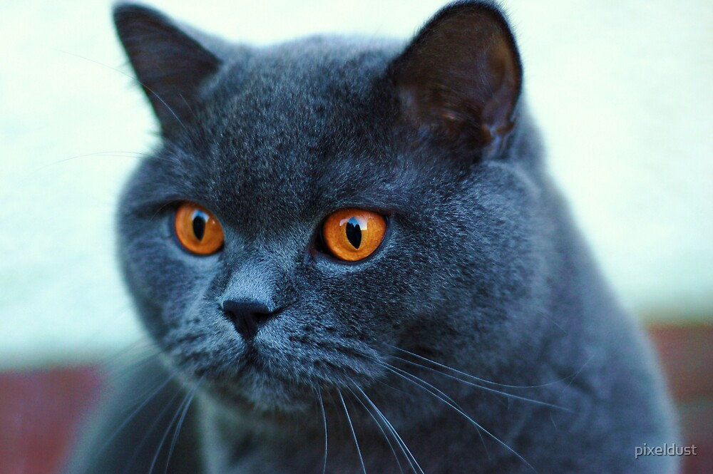British blue shorthaired cat by pixeldust