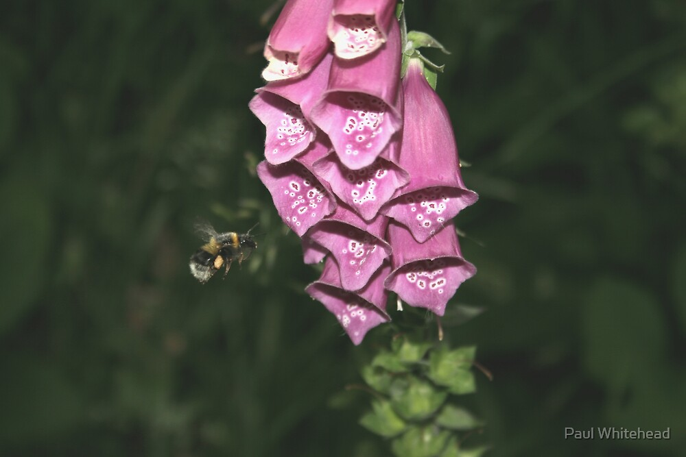 Bee and the Fox Glove by Paul Whitehead
