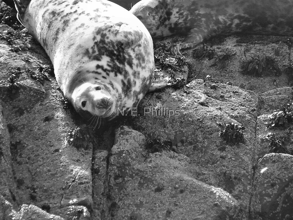 Farne Island Seal by N. E. Phillips