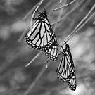 butterfly duet in b&w by Janine Paris