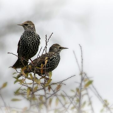 Darling Starlings by gracethescene