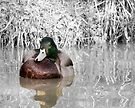 Duck on the water Napton on the hill by bywhacky