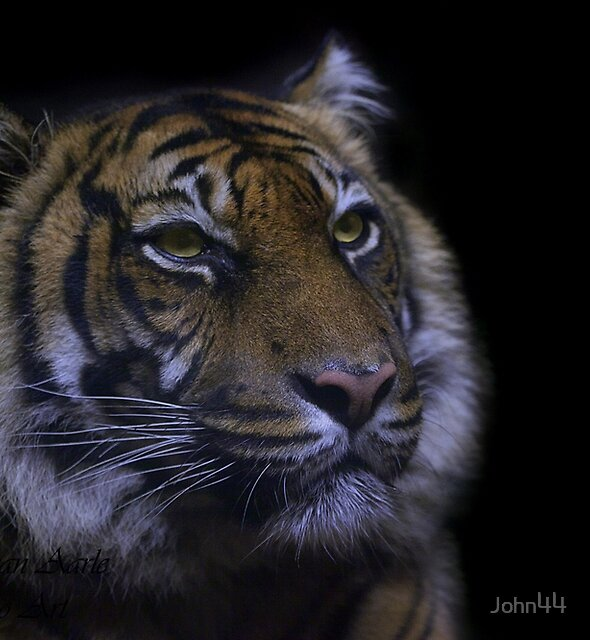 ....a tiger in the dark ... by John44