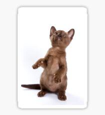 Brown Burmese kitten (isolated on white) Sticker