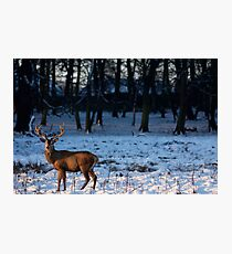 Stag in the snow Photographic Print