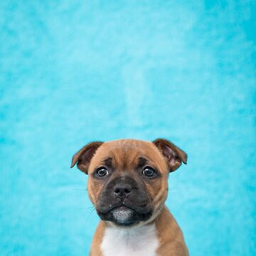 Jersey staffordshire bull terrier by Penel