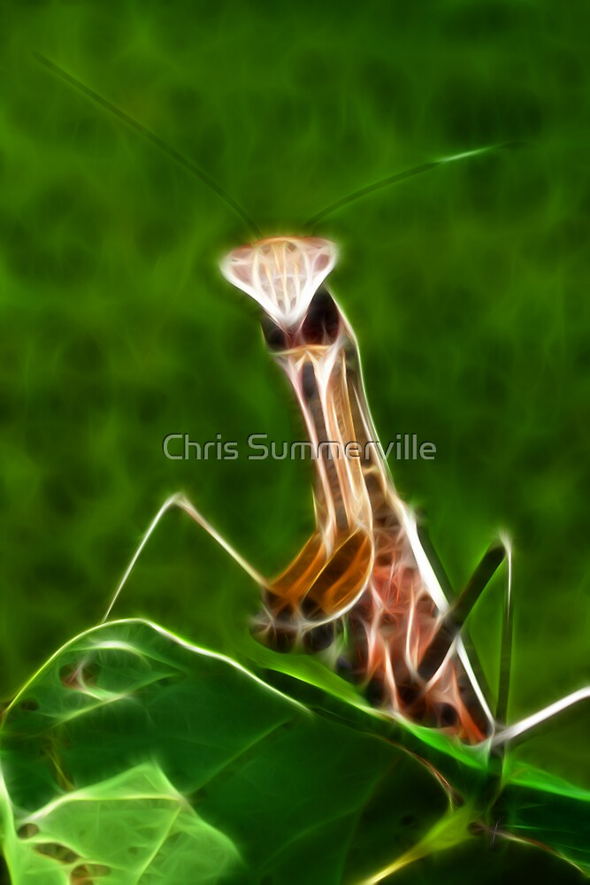 Praying Mantis by Chris Summerville