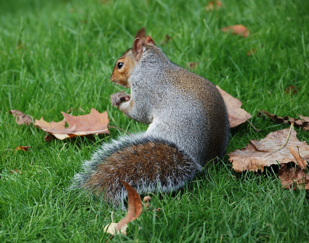 Squirrel collecting food for winter, England by mojgan