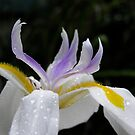 Fortnight Lily by Jan  Wall