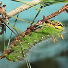 Imperial Moth Caterpillar  by Tonia Delozier