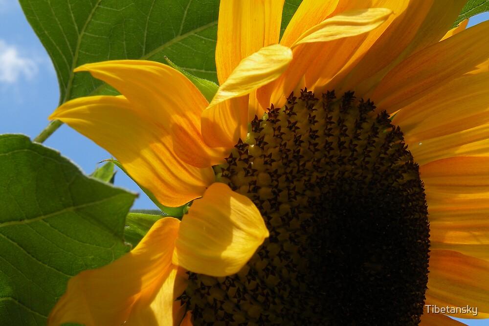 Sun flower close up by Tibetansky