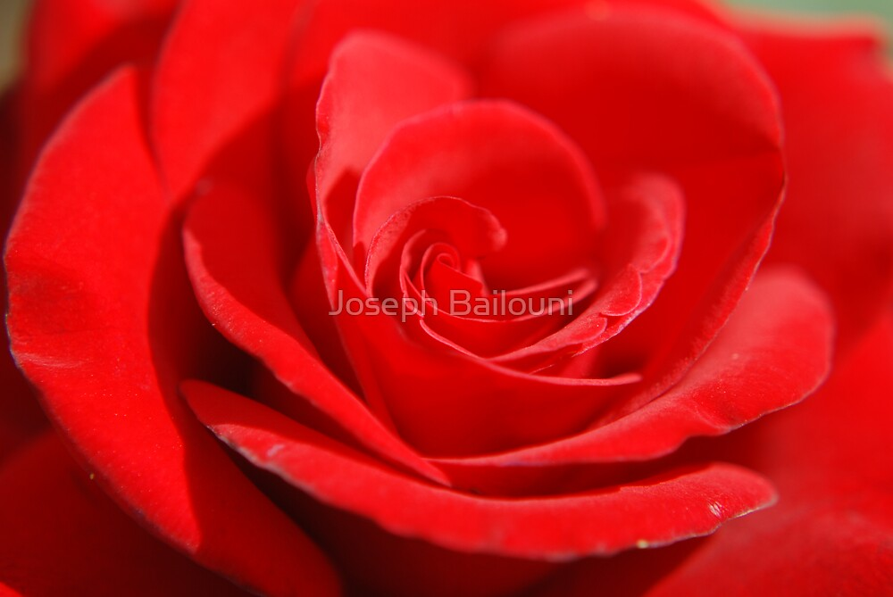 Red Rose by Joseph Bailouni