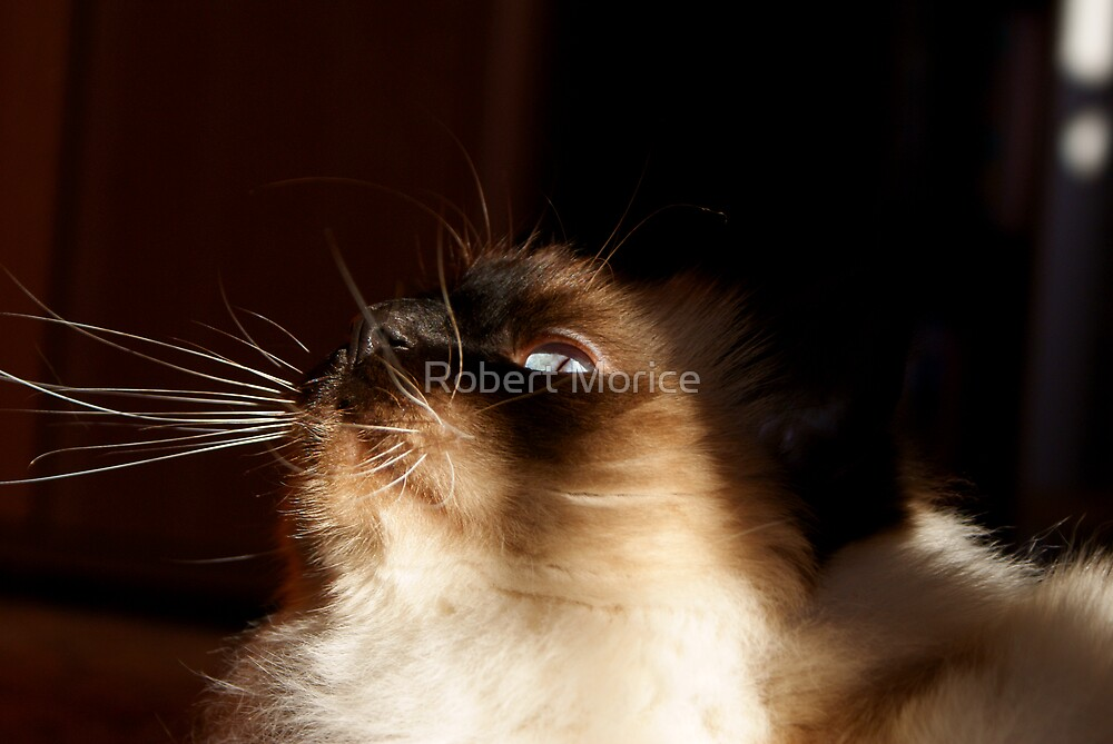 Birman ...  by Robert Morice