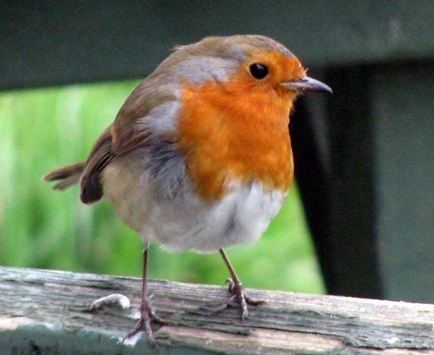 robin redbreast by Caroline Anderson