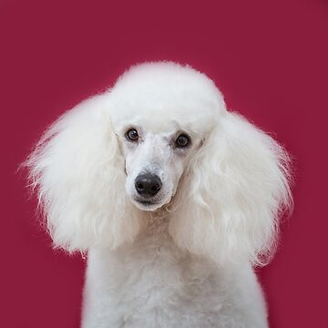 White poodle on scarlet background by Penel