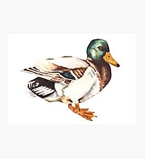 Watercolor Mallard Duck  Photographic Print