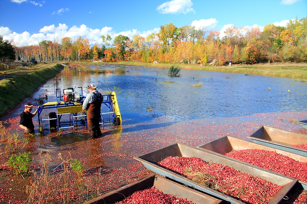 Cranberry Harvesting VII by Dave Law