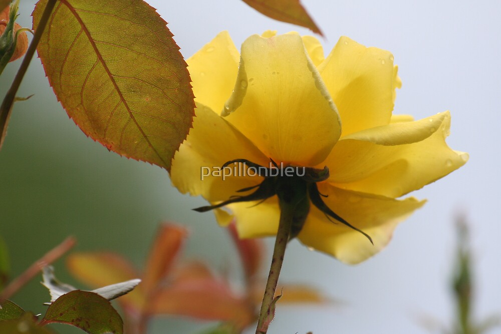 Yellow Rose by Pamela Jayne Smith