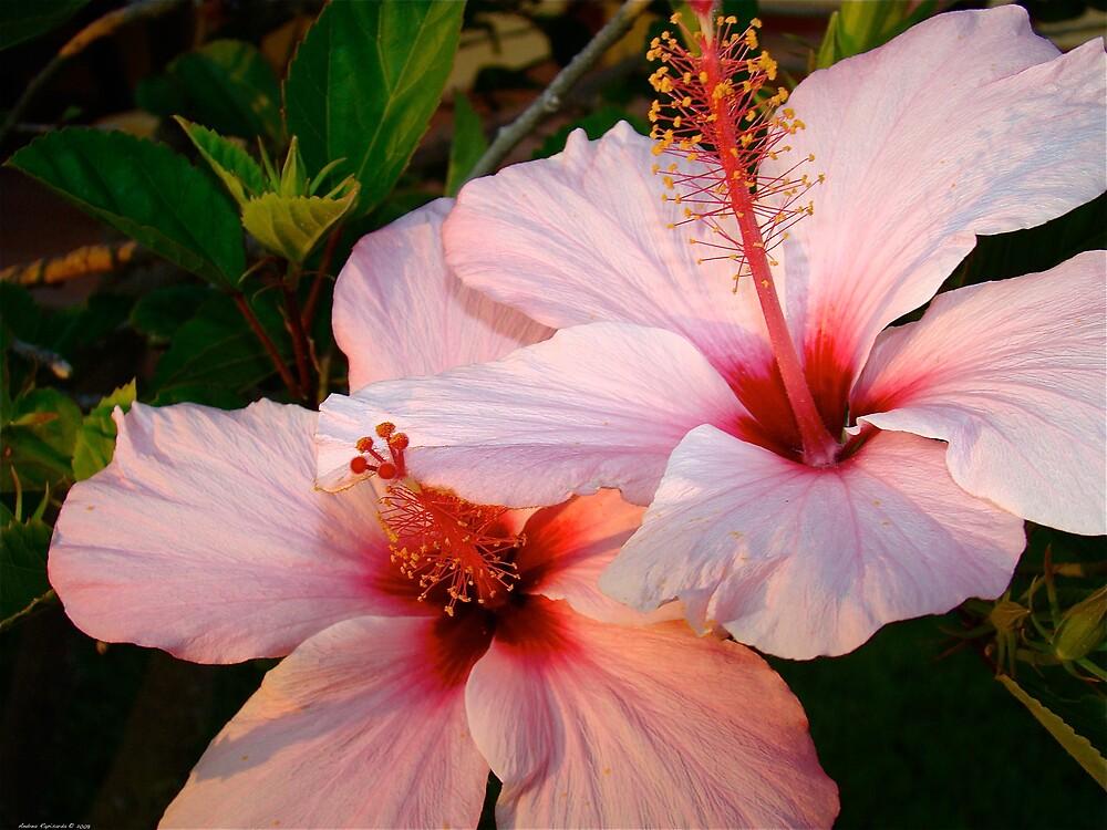 Hibiscus  rosa  by Andrea Rapisarda