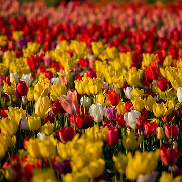 Tulips upon Tulips... by earth2sd