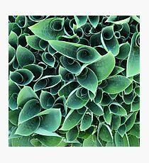 Unraveling Hosta Leaf Love Photographic Print