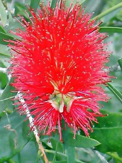 Crimson Bottlebrush by kaye1941